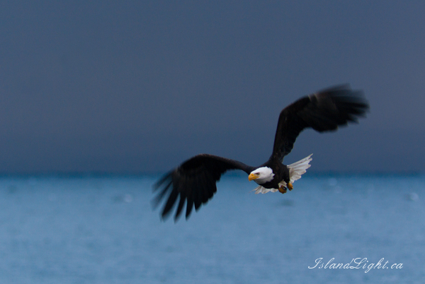 Haliaeetus leucocephalus - The King of the Intertidal Ecosystem  ~ Bald Eagle Photo from Cortes Island Canada.