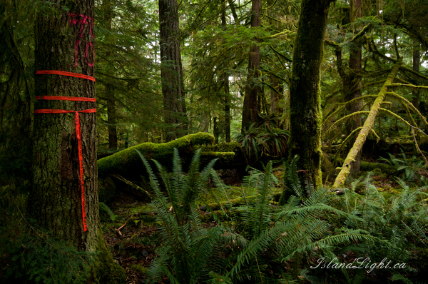 Falling Boundary ~ Forest Photo from Cortes Island Canada.