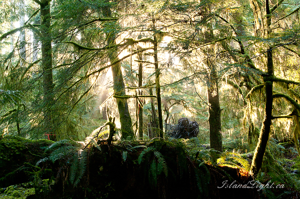Light in the Forest #1 ~ Forest Photo from Cortes Island Canada.