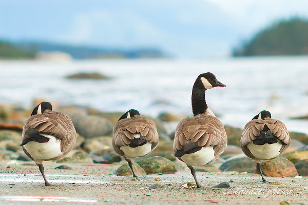 Balancing Act ~ Goose Photo from Cortes Island Canada.