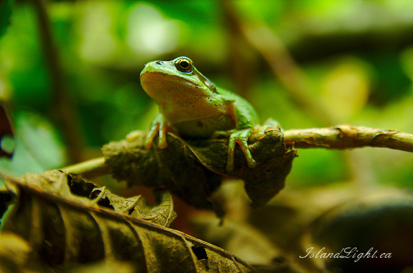 Perched Pacific Tree Frog ~ Tree Frog Photo from Cortes Island Canada.