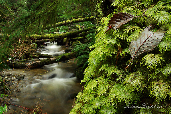 Leaves on Moss ~ Tree Photo from Cortes Island Canada.