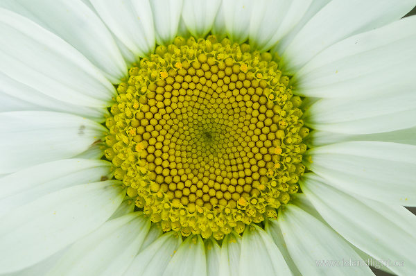 Daisy Face ~ Flower Photo from Slocan Valley Canada.