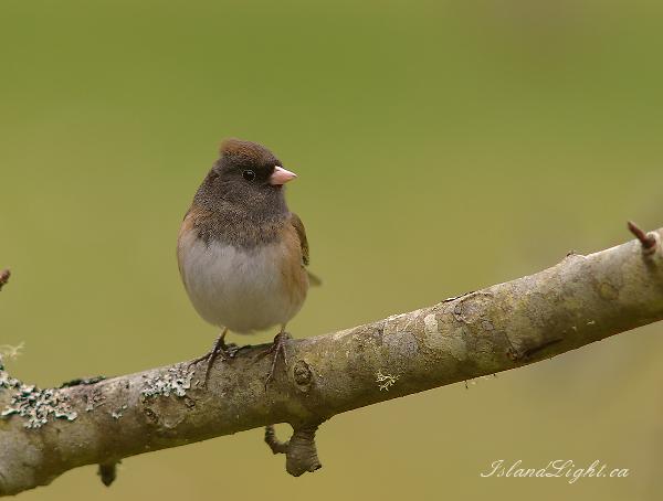 Junco -   photo