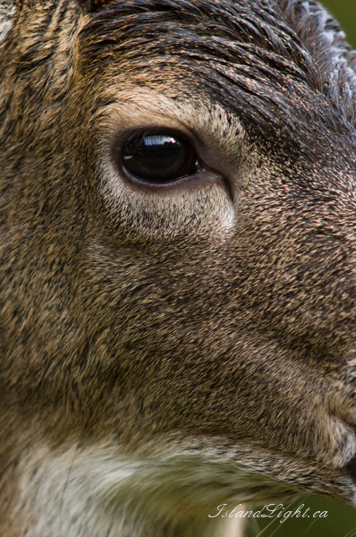 Deer Eye -   photo
