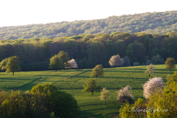 Pasture with Flowering Trees -   photo