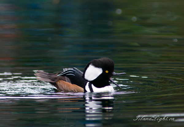 Merganser photo