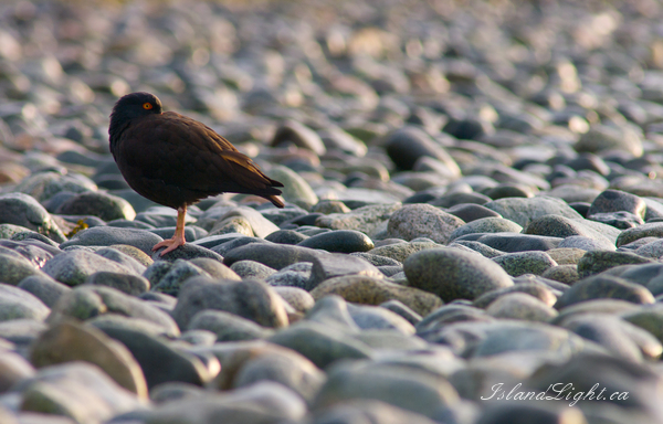 Oystercatcher photo