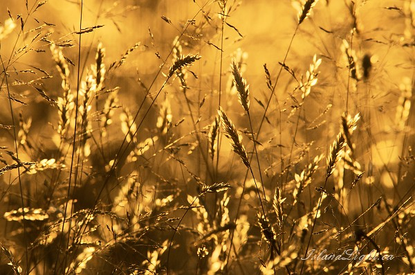 Golden Grasses -  Wild Grass photo