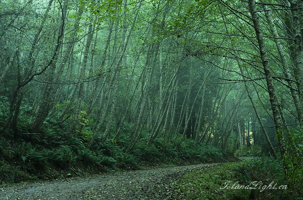 Evening Mist in the Lane of Alders - Cortes Island Country Road photo