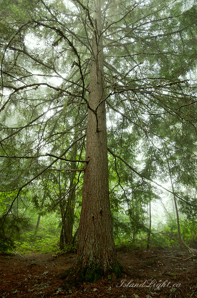 Western Hemlock - Slocan Valley Tree photo
