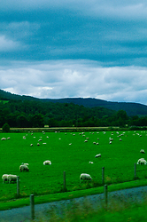 Sheep on a Scottish field -  Sheep photo
