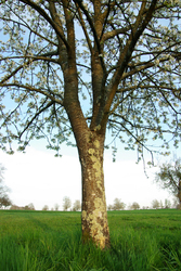 Cherry Tree -  Tree photo