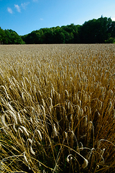 Triticale field - Aillevillers Agriculture photo