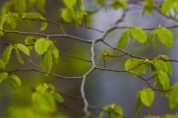 Spring Alder Branch -  Alder Tree photo