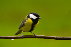 Great Tit ~ Bird  picture from Aillevillers France.