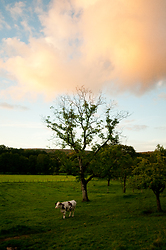 Cow Beneath the Oak Tree ~ Cow picture from Aillevillers France.