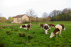 Our Neighbors ~ Cow picture from Aillevillers France.