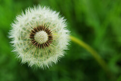 Dandelion -  Dandelion photo