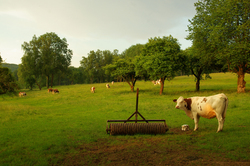 Evening Pasture ~ Farm picture from Aillevillers France.