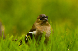 Chaffinch ~ Finch picture from Aillevillers France.