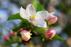 Apple Blossoms ~ Flower picture from Aillevillers France.
