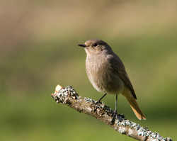 Protrait of a Female Black Redstart ~ Flycatcher picture from Aillevillers France.