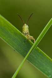 Good Morning Grasshopper ~ Grasshopper picture from Aillevillers France.