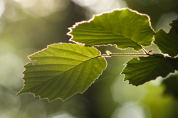 Alder Leaves ~ Leaf picture from Aillevillers France.