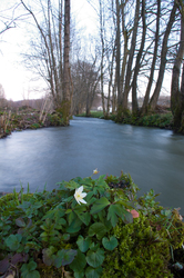 Little white flower ~ River picture from Aillevillers France.