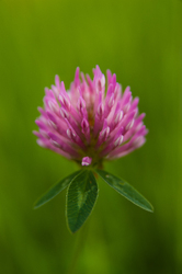 Purple Clover ~ Wildflower picture from Aillevillers France.