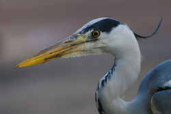 Gray Heron Portrait ~ Gray Heron picture from Amsterdam Netherlands.