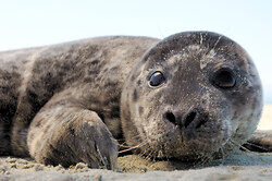 Baby Harbour Seal - Cortes Island Baby Animal photo