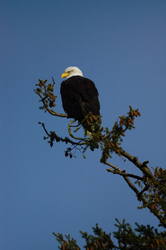 Haliaeetus leucocephalus - Cortes Island Bald Eagle photo