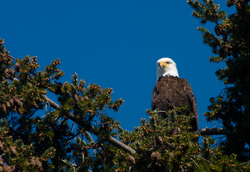 Haliaeetus leucocephalus Portrait - Cortes Island Bald Eagle photo