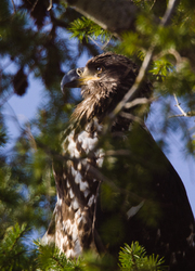 Juvenile Bald Eagle Portrait - Cortes Island Bald Eagle photo