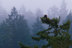 Bald Eagle on Treetop - Cortes Island Bald Eagle photo