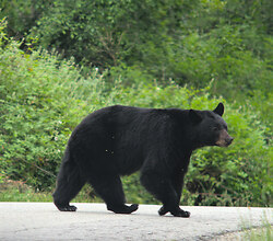 Why did the Black Bear Cross the Road? - Lund Bear photo
