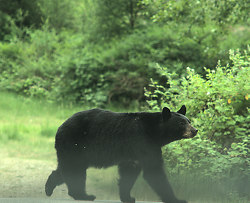 Black Bear Near Lund - Lund Bear photo