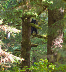 Black Bear in Tree - Bond Sound Bear photo