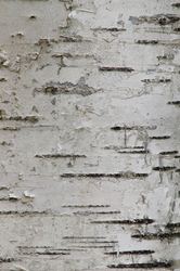 Birch Barck Art - Slocan Valley Birch Tree  photo