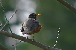 Robin in an Oak Tree - Cortes Island  photo