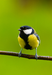 Parus Major - Aillevillers  photo