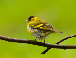 Eurasian Siskin -   photo