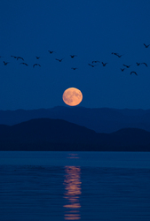 Moonrise Migration - Calvert Island Birds At Night photo