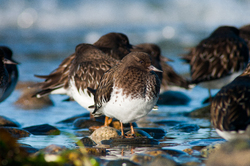 Black Turnstone Portrait - Cortes Island Black Turnestone photo