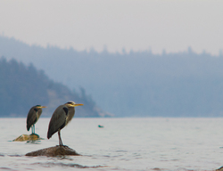 Two Great Blue Herons - Cortes Island Blue Heron photo