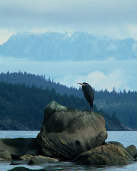 Ardea herodias - Cortes Island Blue Heron photo