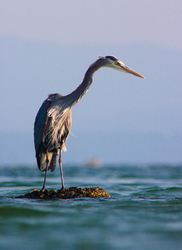 Heron Stare - Cortes Island Blue Heron photo