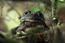 Western Toad ~ Toad picture from Bond Sound Canada.